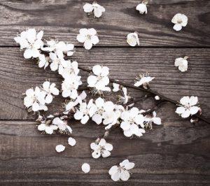 bigstock-Flowering-branch-with-white-de-96504278-e1462727105781
